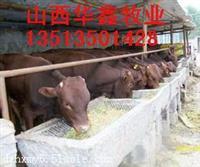 什邡400斤小牛犊价格电视台专访